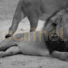 Cecil-The-Lion-Living-Zimbabwe
